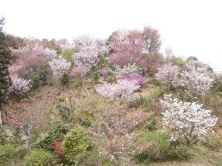 20140412sakura