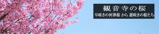観音寺の桜1