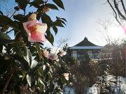 早咲きのツバキ