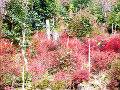 ドウダンツツジの紅葉2