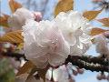 桜市原虎の尾