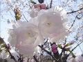 桜三ヶ日桜