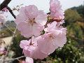桜奥州里桜