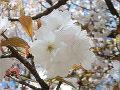 桜御室有明