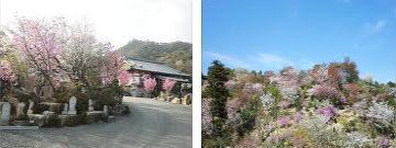 観音寺の桜2