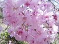 桜八重紅彼岸